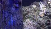 коралловый : Underwater view of Colorful Exotic fishes in an Aquarium in 4K (UHD)