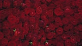 rosas : Gimbal shot of Red Roses flowers Background in 4k UHD Stock Footage