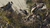 poleiro : Asian Openbill (Anastomus oscitans) and many birds on tree with nest and baby in slow-motion Vídeos