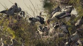 ryż : Asian Openbill (Anastomus oscitans) and many birds on tree with nest and baby in slow-motion Wideo