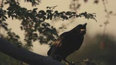 penas : Crow sit on big tree trunk in slow motion