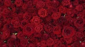 Валентин : Gimbal shot of Red Roses flowers Background in 4k UHD Стоковые видеозаписи
