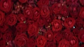 Gimbal shot of Red Roses flowers Background in 4k UHD Stock Footage