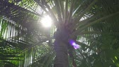paproć : Palm tree with sun shining through leaves. The suns rays shining through the leaves of the palm tree Wideo