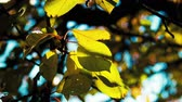 silence : Yellow leaves and turquoise sky. Falling of leaves Stock Footage