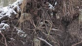 spletený : root system of the fallen tree ripped out of the snow forest Dostupné videozáznamy