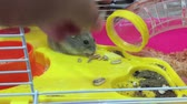 chomik : Feeding dwarf hamster with sunflower seeds