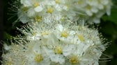 snowwhite : White flowers of hawthorn are trembling in the wind