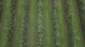 rubber plant : Aerial view of drone fly over of apples orchard in cloudy day