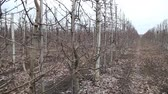 zelenáč : Pruning trees in the apple orchard - annual work after harvest