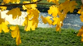 windy : Yellow maple leaves move in wind with river in background in slow motion Stock Footage