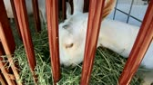 nabiał : White goat munching on hay in a cage.-