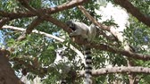 catta : Ring-tailed lemur climbing tree 4k