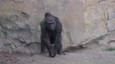 milli park : Western coast gorilla mom with baby on her back 4k