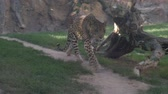 Крюгер : Leopard in slow motion approaching the camera 4k