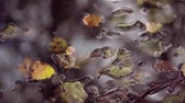 Wet leaves in autumn forest after rainfall. Raining onto red and yellow tree leaves in rainy fall. Water drops dropping off stunning vibrant maple tree leaves in autumn forest.4k,24fps.