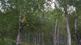 A birch grove stands in the forest on an autumn day when the wind blows leaves. Slow recording.1080p,30fps.