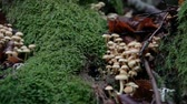 fungi : Group of fungus in the forest in Autumn Stock Footage