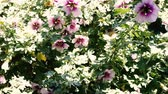 원주민 : hibiscus syriacus althea rose of sharon flower (also called aphhrodite hibiscus) tree moving in the wind under harsh direct sunlight with camera zooming in on it 무비클립
