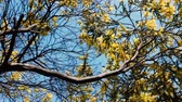 native Australian wattle tree in full bloom with typical yellow flowers on a sunny blue sky day, camera panning around the tree Stock Footage