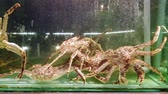 crustáceo : 4k UHD footage of  Giant Snow Crab in the tank (Chionoecetes opilio)