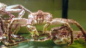 granchi : 4k UHD footage of  Giant Snow Crab in the tank (Chionoecetes opilio)