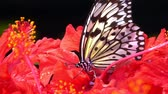 hibisco : 4k UHD of Butterfly Chilasa clytia clytia (Common Mime) on a hibiscus