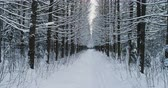 wintertime : Aerial video of beautiful forest landscape in winter, alley of trees covered with snow.