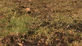 trawnik : Close-up of Lawn grass grows on the field.