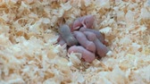 słoma : Newborn little mice are blind in the nest.