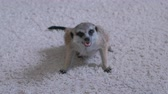 feroz : Meerkat eats a mouse on a white carpet at home.