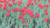 Клумба : Field of beautiful red tulips in the spring. Стоковые видеозаписи