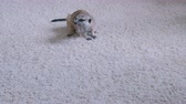 divoký : Meerkat eats a mouse on a white carpet at home.
