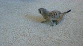 pet : Meerkat eats a Madagascar cockroach on a white carpet at home.