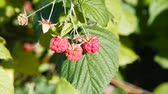 vertical growth : Raspberry Bush with ripe berries.