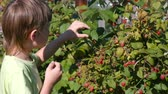 chalé : Boy eats raspberries, tearing it from the bushes in the country.