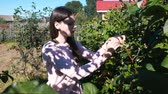 chalet : Young brunette woman eats raspberries, tearing it from the bushes in the country. Stock Footage