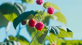 framboesa : Raspberry Bush with ripe berries.