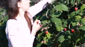 framboise : Young brunette woman eats raspberries, tearing it from the bushes in the country. Vidéos Libres De Droits