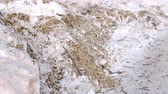 снег : Sawdust and twigs of sawn trees in the snow close-up.