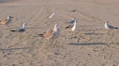 palmado : Birds crows and seagulls eat bread on the sandy beach.