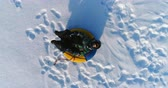 śnieżka : Boy of 7 years is laying on tubing in the snow. Camera slowly approaching. Aerial footage.