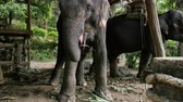 elephas maximus : Asiatic elephant eating hay and dancing
