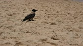 seagull : Crow standing on the sand beach Stock Footage