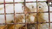 acımasız : Chickens transport in cramped cage on a pickup Stok Video