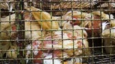 torture : Chickens transport in cramped cage on a pickup Stock Footage