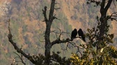 cam : Black birds in the tree on mountains Stok Video