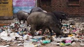 hurda : Animals on the street are eating in garbage Stok Video