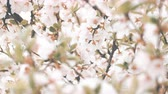 UHD graded closeup shot of the blossoming cherry tree Stock mozgókép