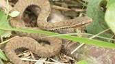 sibiř : UHD closeup graded shot of the baby Gloydius halys, aka Siberian pit viper or Halys viper or Halys pit viper